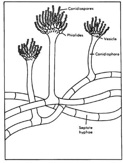 Candida Albicans Fungus Diagram