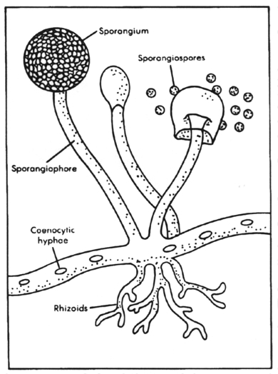 Sporangiospores asexual definition