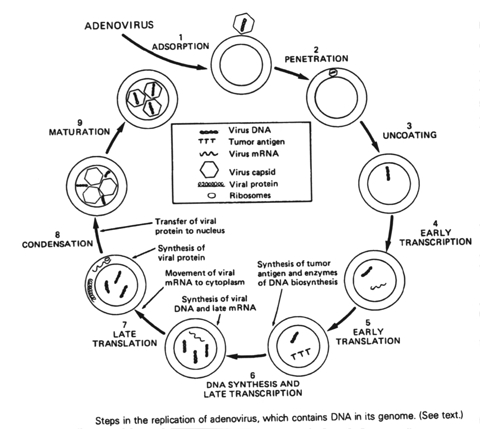 Asexual Reproduction In Plants A Understanding For Igcse further Body Organisation further 68806 furthermore  together with Cephaopoda. on animal cell diagram