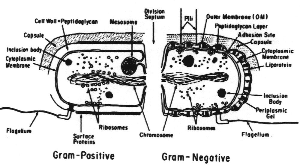 Dr Tritz Bacteria