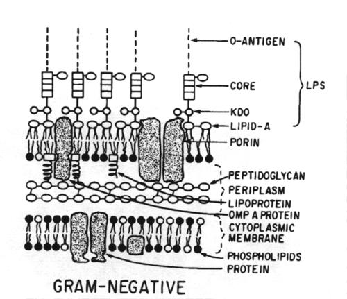 K Antigen Bacteria O-antigen   somatic antigen