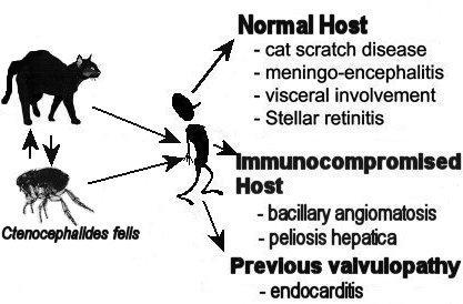 cat scratch fever, Skeleton