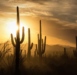 Image of Mesa, Arizona sunset featuring many saguaro and ocotillo cacti.