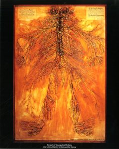 The dissected nervous system is on display within the Museum of Osteopathic Medicine. Museum of Osteopathic Medicine [1999.08.01]